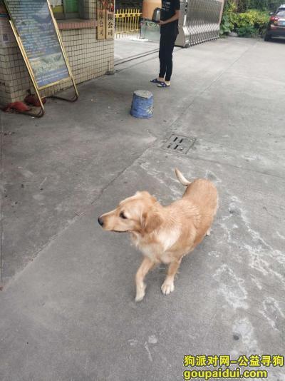 ,千元东莞长安寻母金毛,它是一只非常可爱的宠物狗狗,希望它早日回家,不要变成流浪狗。