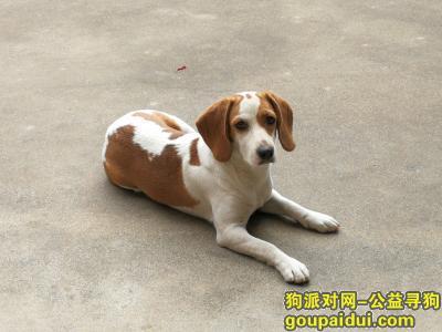 泰州丢狗,泰州重金寻狗 一岁大耳朵比格犬 黄白色,它是一只非常可爱的宠物狗狗,希望它早日回家,不要变成流浪狗。
