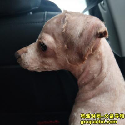 德阳找狗,寻狗启示,红色贵宾犬,它是一只非常可爱的宠物狗狗,希望它早日回家,不要变成流浪狗。