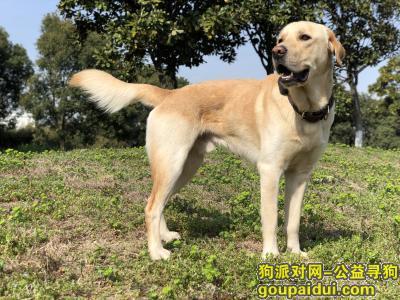 苏州寻狗网,寻犬启示:苏州阳澄湖走失拉布拉多公犬,它是一只非常可爱的宠物狗狗,希望它早日回家,不要变成流浪狗。