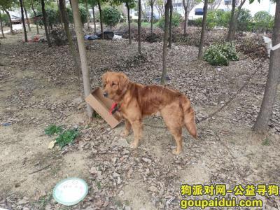 寻狗启示,瑶海区明皇路与吴敬梓路交口捡到金毛成年狗一只,它是一只非常可爱的宠物狗狗,希望它早日回家,不要变成流浪狗。