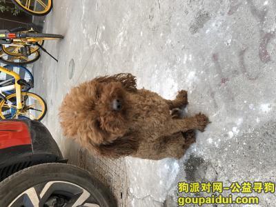寻狗启示,山西太原小店区捡到一只泰迪公狗结尾,它是一只非常可爱的宠物狗狗,希望它早日回家,不要变成流浪狗。