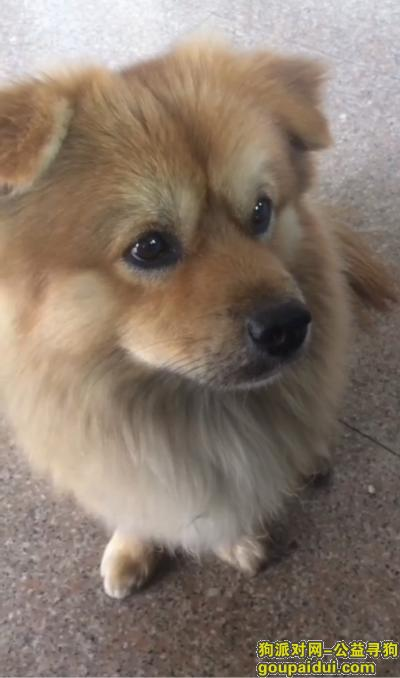 中山寻狗启示,中山东凤镇找狗,普通黄色土狗,松毛,胸前白色毛,它是一只非常可爱的宠物狗狗,希望它早日回家,不要变成流浪狗。