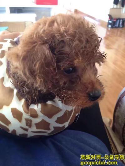 ,寻找爱犬泰迪,在新安街附近走失,它是一只非常可爱的宠物狗狗,希望它早日回家,不要变成流浪狗。