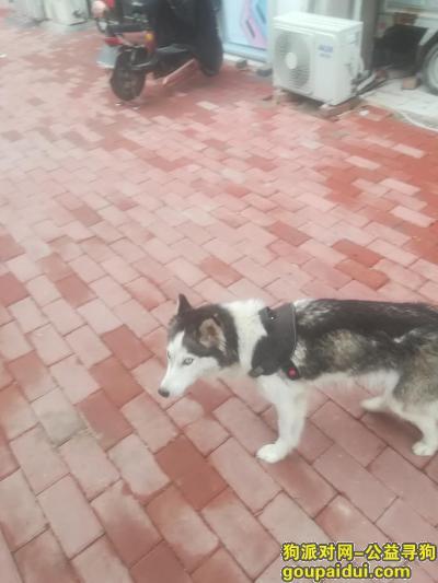 商丘找狗,商丘看到哈士奇在马路上游荡,它是一只非常可爱的宠物狗狗,希望它早日回家,不要变成流浪狗。