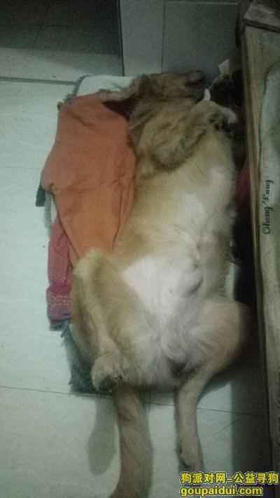 肇庆寻狗网,希望有好心人捡到或看到联系我,它是一只非常可爱的宠物狗狗,希望它早日回家,不要变成流浪狗。