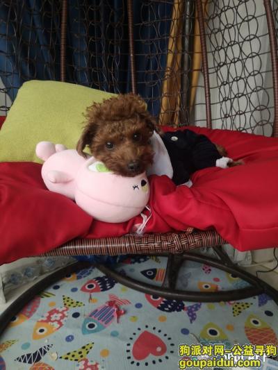 温州找狗,泰迪小四棕色腿部有少于白毛,它是一只非常可爱的宠物狗狗,希望它早日回家,不要变成流浪狗。