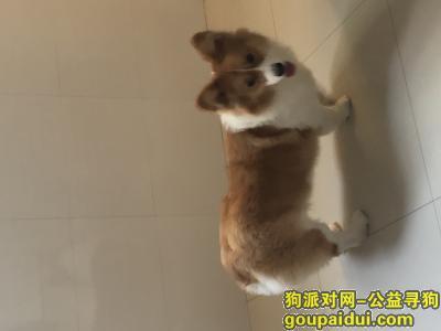 无锡寻狗,重酬寻找两岁柯基,白围巾大体型胆小怕人,它是一只非常可爱的宠物狗狗,希望它早日回家,不要变成流浪狗。