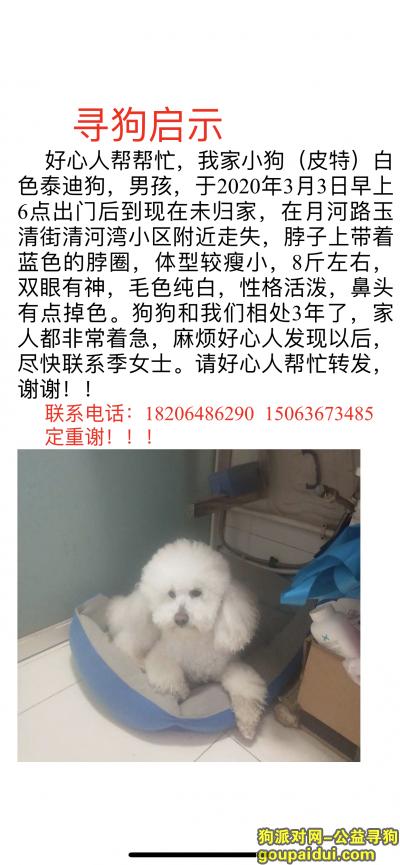 ,寻找白色泰迪公短尾,它是一只非常可爱的宠物狗狗,希望它早日回家,不要变成流浪狗。