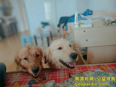 潍坊找狗,在潍城区火车站的尚客优酒店附近丢的金毛,它是一只非常可爱的宠物狗狗,希望它早日回家,不要变成流浪狗。