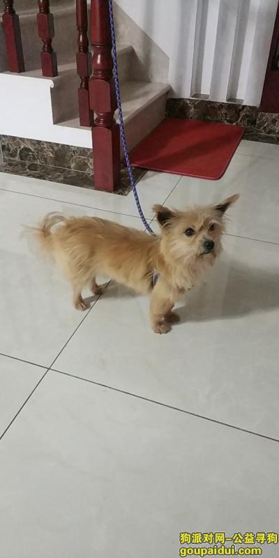 曲靖寻狗启示,金黄色雌性小型串串犬已找回,它是一只非常可爱的宠物狗狗,希望它早日回家,不要变成流浪狗。