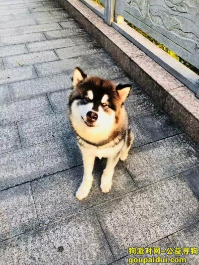 宜春找狗,18年丢的阿拉斯加,,它是一只非常可爱的宠物狗狗,希望它早日回家,不要变成流浪狗。