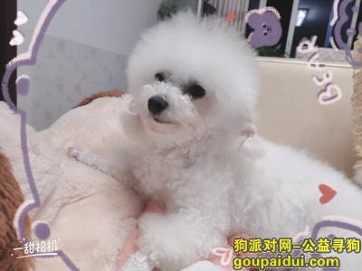 ,寻找这只比熊犬,是纯白色的,它是一只非常可爱的宠物狗狗,希望它早日回家,不要变成流浪狗。