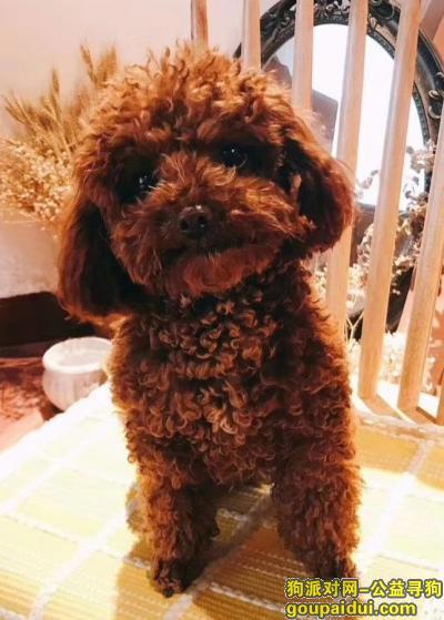 德阳寻狗网,泰迪,贵宾,德阳广汉市,它是一只非常可爱的宠物狗狗,希望它早日回家,不要变成流浪狗。