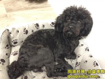 德阳寻狗启示,四川绵竹寻狗,黑色公泰迪,它是一只非常可爱的宠物狗狗,希望它早日回家,不要变成流浪狗。