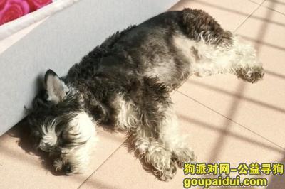 宜宾寻狗启示,四川宜宾寻狗启示,黑银色#雪纳瑞妹妹#,它是一只非常可爱的宠物狗狗,希望它早日回家,不要变成流浪狗。