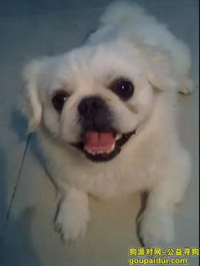 南宁寻狗启示,建政东路走失一只京巴狗狗,它是一只非常可爱的宠物狗狗,希望它早日回家,不要变成流浪狗。