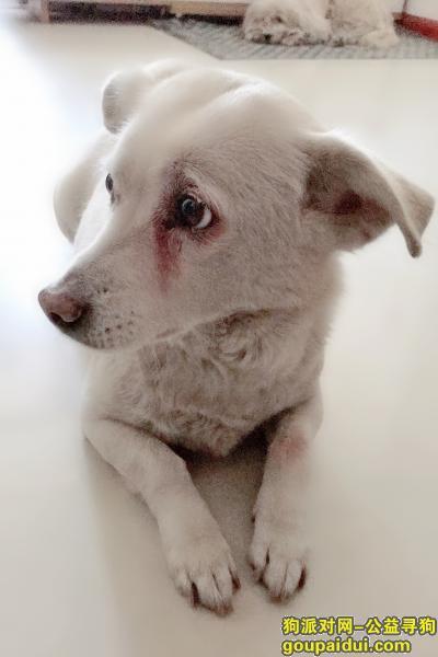 ,寻爱犬,邯山区三中附近一带走失,它是一只非常可爱的宠物狗狗,希望它早日回家,不要变成流浪狗。