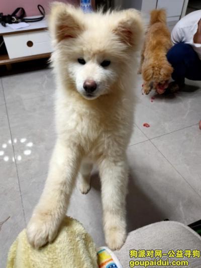 合肥寻狗,寻白色长毛秋田母,长的像萨摩,它是一只非常可爱的宠物狗狗,希望它早日回家,不要变成流浪狗。