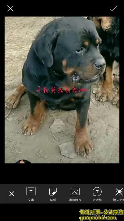 吕梁寻狗启示,寻找爱犬罗威纳主人心存挂念,它是一只非常可爱的宠物狗狗,希望它早日回家,不要变成流浪狗。
