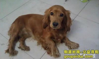 洛阳找狗,寻找爱犬 英国贵宾犬 英卡  名为:哈利   五岁半  成年狗,它是一只非常可爱的宠物狗狗,希望它早日回家,不要变成流浪狗。
