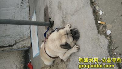 东莞找狗主人,捡到八哥狗,南城水濂山这边,它是一只非常可爱的宠物狗狗,希望它早日回家,不要变成流浪狗。