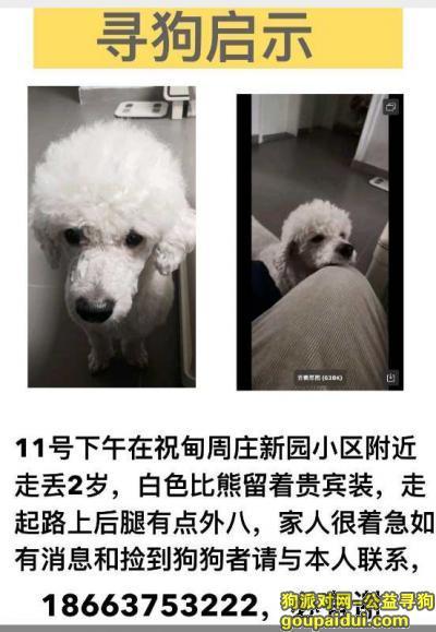 ,济南找狗。寻找历城区东风街道周庄新园白色留着贵宾装的长尾巴比熊犬。,它是一只非常可爱的宠物狗狗,希望它早日回家,不要变成流浪狗。