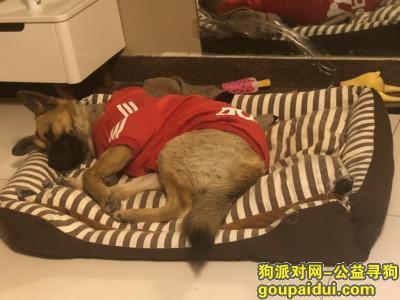 太原寻狗网,太原市尖草坪区卧虎山动物园附近,它是一只非常可爱的宠物狗狗,希望它早日回家,不要变成流浪狗。