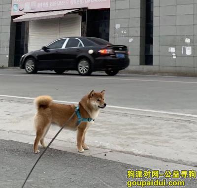南通寻狗启示,南通市海门叠石桥国贸华府小区重金寻找柴犬,它是一只非常可爱的宠物狗狗,希望它早日回家,不要变成流浪狗。