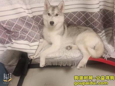廊坊寻狗启示,寻狗启示哈士奇烟灰色褐色眼睛,它是一只非常可爱的宠物狗狗,希望它早日回家,不要变成流浪狗。