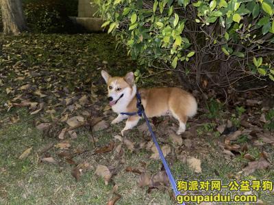 ,有偿寻找走失柯基(公狗),它是一只非常可爱的宠物狗狗,希望它早日回家,不要变成流浪狗。