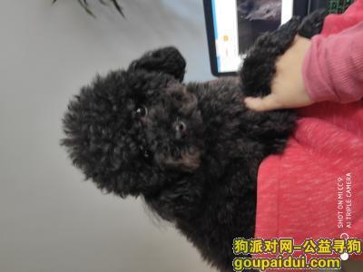 唐山寻狗网,寻狗启示找狗黑泰迪主人午饭必有重谢,它是一只非常可爱的宠物狗狗,希望它早日回家,不要变成流浪狗。