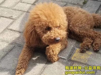 【长沙找狗】,长沙市雨花区雨花亭西酬谢五千元寻找棕色泰迪,它是一只非常可爱的宠物狗狗,希望它早日回家,不要变成流浪狗。