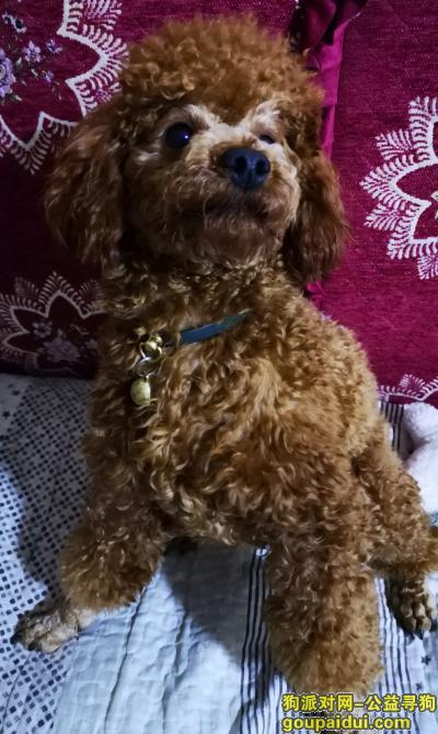 【长沙找狗】,长沙寻红棕泰迪公,带绿色项圈有电话,它是一只非常可爱的宠物狗狗,希望它早日回家,不要变成流浪狗。