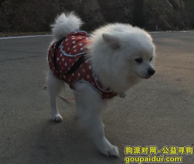 洛阳丢狗,宜阳同力大桥北岸走丢一只白色母博美,它是一只非常可爱的宠物狗狗,希望它早日回家,不要变成流浪狗。