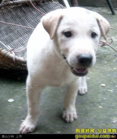 马鞍山寻狗启示,寻找狗狗,一只不纯的拉布拉多,它是一只非常可爱的宠物狗狗,希望它早日回家,不要变成流浪狗。