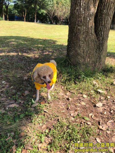 【重庆找狗】,重庆巴南区鱼洞黄溪口酬谢三千元寻找泰迪,它是一只非常可爱的宠物狗狗,希望它早日回家,不要变成流浪狗。