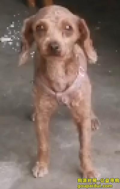 寻狗启示,丢失狗狗,望求找到毛孩子,它是一只非常可爱的宠物狗狗,希望它早日回家,不要变成流浪狗。