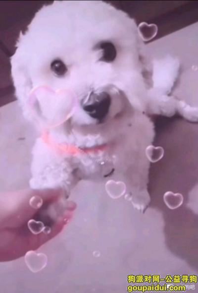 寻狗启示,急寻走失爱犬皮皮也叫豆包,白色比熊找到答谢1500,它是一只非常可爱的宠物狗狗,希望它早日回家,不要变成流浪狗。