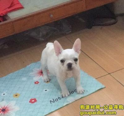 淄博寻狗启示,高青的朋友急寻爱犬阿福 法斗 母 白色 背部有土黄色花纹似胎记,它是一只非常可爱的宠物狗狗,希望它早日回家,不要变成流浪狗。