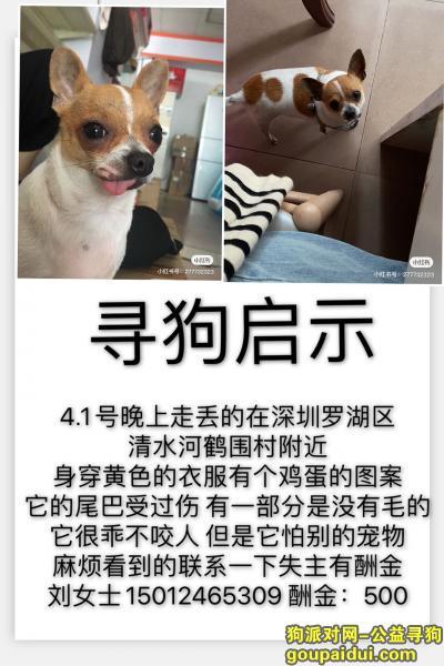 【深圳找狗】,深圳罗湖区清水河鹤围村寻找爱犬,它是一只非常可爱的宠物狗狗,希望它早日回家,不要变成流浪狗。