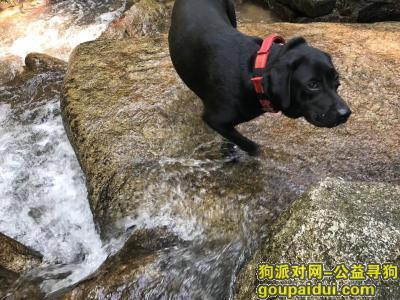 【南昌找狗】,黑色拉布拉多母,六岁,它是一只非常可爱的宠物狗狗,希望它早日回家,不要变成流浪狗。