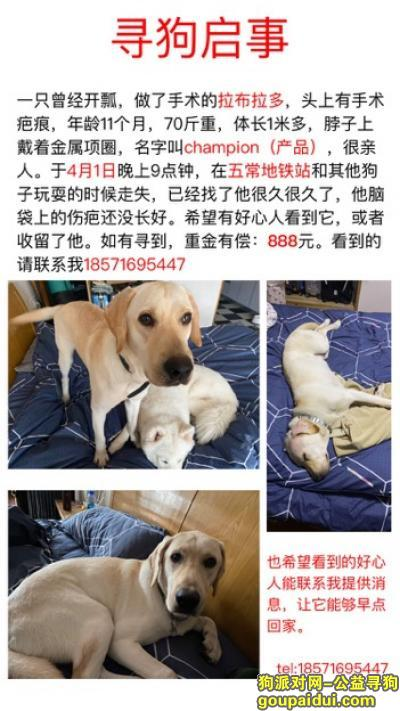 ,杭州余杭区五常地铁站寻找拉布拉多,它是一只非常可爱的宠物狗狗,希望它早日回家,不要变成流浪狗。