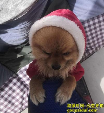 ,寻找爱犬身穿红色衣服博美,它是一只非常可爱的宠物狗狗,希望它早日回家,不要变成流浪狗。