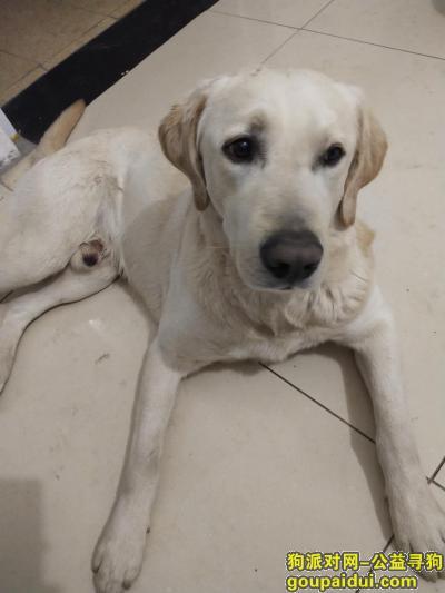 徐州丢狗,徐州贾汪工业园虎庄东头酬谢五千元寻找拉布拉多,它是一只非常可爱的宠物狗狗,希望它早日回家,不要变成流浪狗。