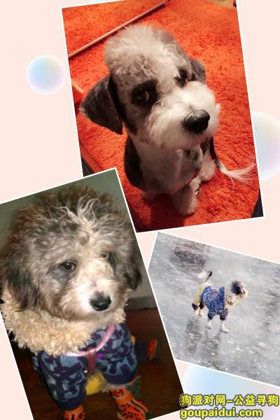【北京找狗】,北京市—西城区!新街口、雪纳瑞串串,它是一只非常可爱的宠物狗狗,希望它早日回家,不要变成流浪狗。