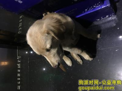 莆田寻狗,本人金毛11个月大在莆田秀屿区东庄丢失,它是一只非常可爱的宠物狗狗,希望它早日回家,不要变成流浪狗。