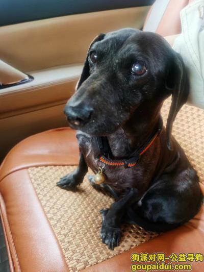 无锡寻狗主人,捡到黑色小腊肠一只、母,它是一只非常可爱的宠物狗狗,希望它早日回家,不要变成流浪狗。