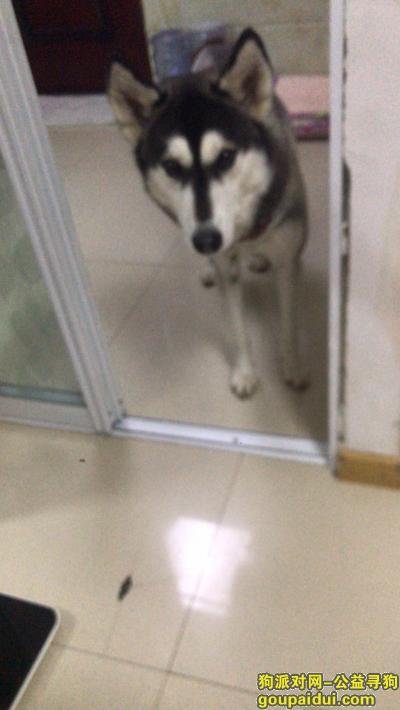 金华寻狗启示,请帮忙寻找皮蛋回家好吗?,它是一只非常可爱的宠物狗狗,希望它早日回家,不要变成流浪狗。