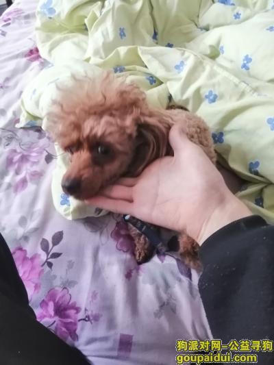 连云港寻狗启示,东海县四季羊肉馆捡到只泰迪。,它是一只非常可爱的宠物狗狗,希望它早日回家,不要变成流浪狗。